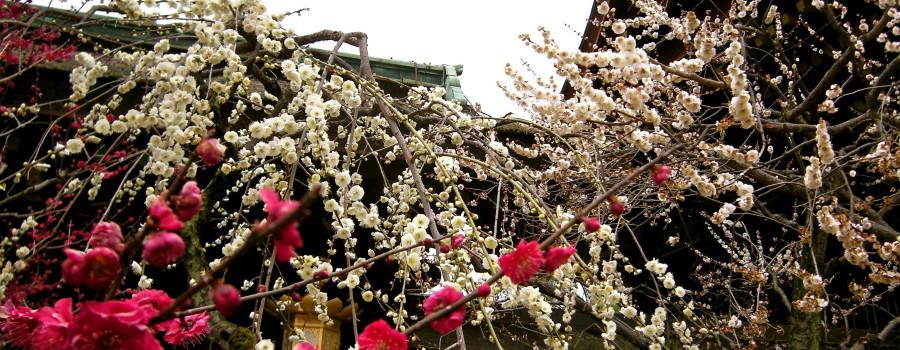 北野天満宮の二色の梅