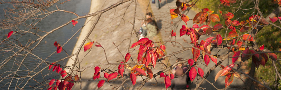 kamogawa autumn leaves 2014